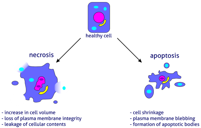 アポトーシスとネクローシスの違い