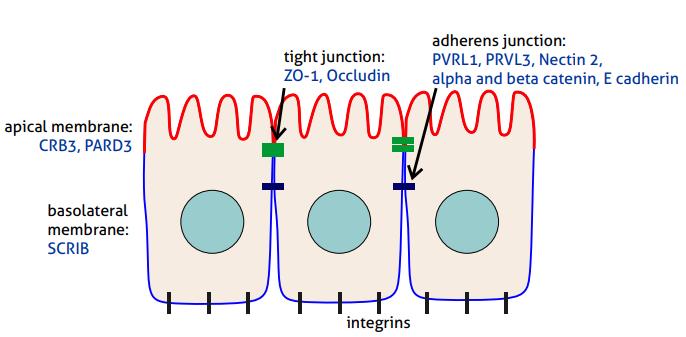 上皮細胞極性(Epithelial cell polarity)頂端膜および基底外側膜、タイトジャンクションおよびアドヘレンスジャンクション、ならびに細胞極性調節に関与する主要細胞構造。