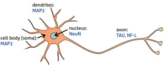 神経極性の発生:神経極性マーカー