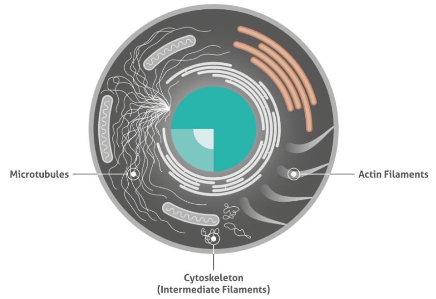 3種類の細胞骨格タンパク質のイラスト図