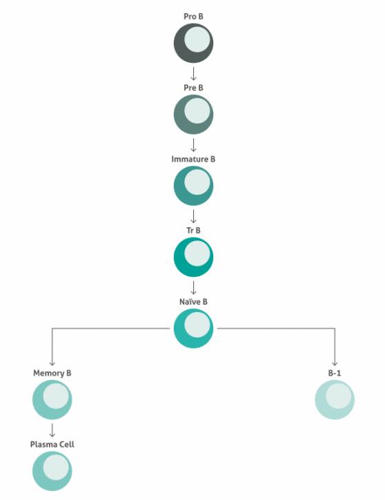 ヒトB細胞の成熟