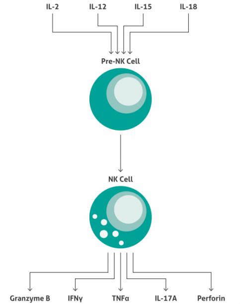 NK(ナチュラルキラー)細胞の成熟
