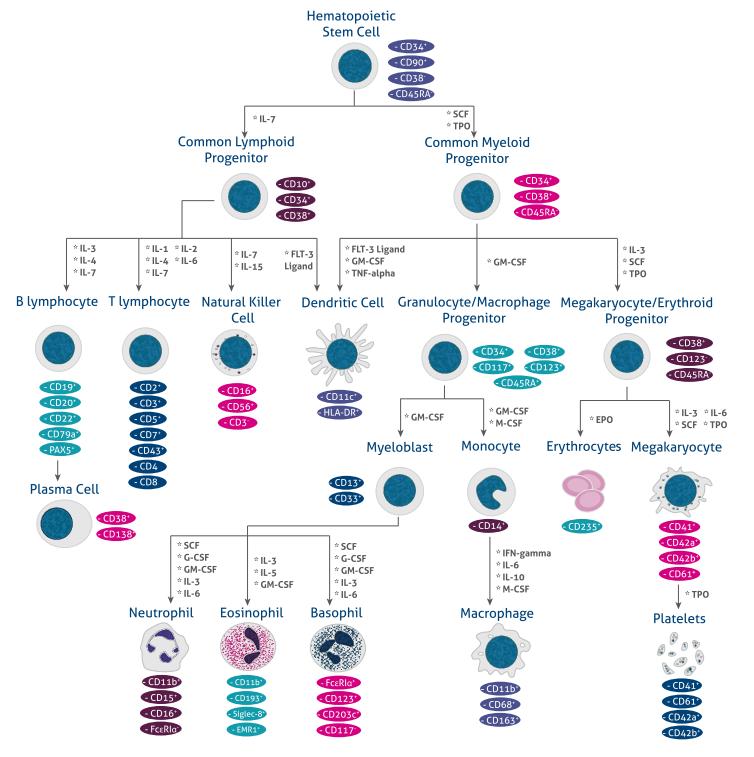 ヒト造血系細胞分化マーカー・免疫細胞ポスター