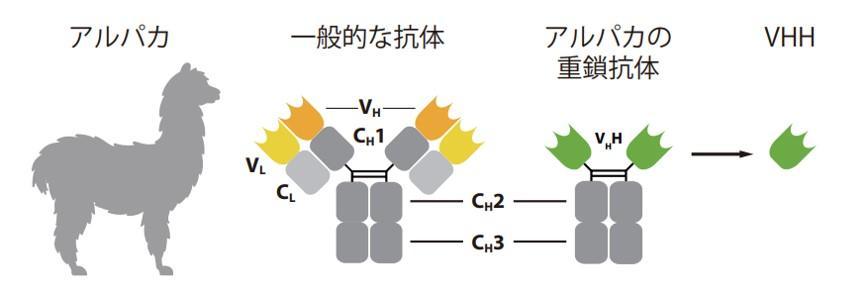 図1. ラクダ科動物のユニークな重鎖抗体・VHH