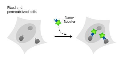 図3. Nano-Booster®の概要。GFP/RFP融合タンパク質の蛍光シグナルは、細胞固定後に減少します。GFP/RFP-Booster®は、蛍光シグナルの増幅に利用できます