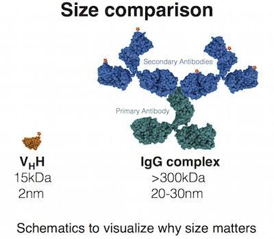 図4. Nano-Booster/Nano-Label(蛍光標識ナノ抗体)と一次抗体/二次抗体(一般的なIgG)複合体のサイズ比較