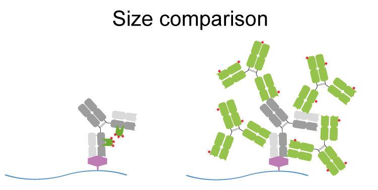 図. Nano-Secondary® と従来のポリクローナル二次抗体の比較<br />(左)Nano-Secondary®(緑色)と一次抗体(灰色)の複合体形成(サイズが小さく、エピトープに対して標識物質がより近接した正確な複合体を形成)。<br />(右)従来のポリクローナル二次抗体(緑色)と一次抗体(灰色)の複合体形成(大規模であり、任意性のある複合体を形成)。