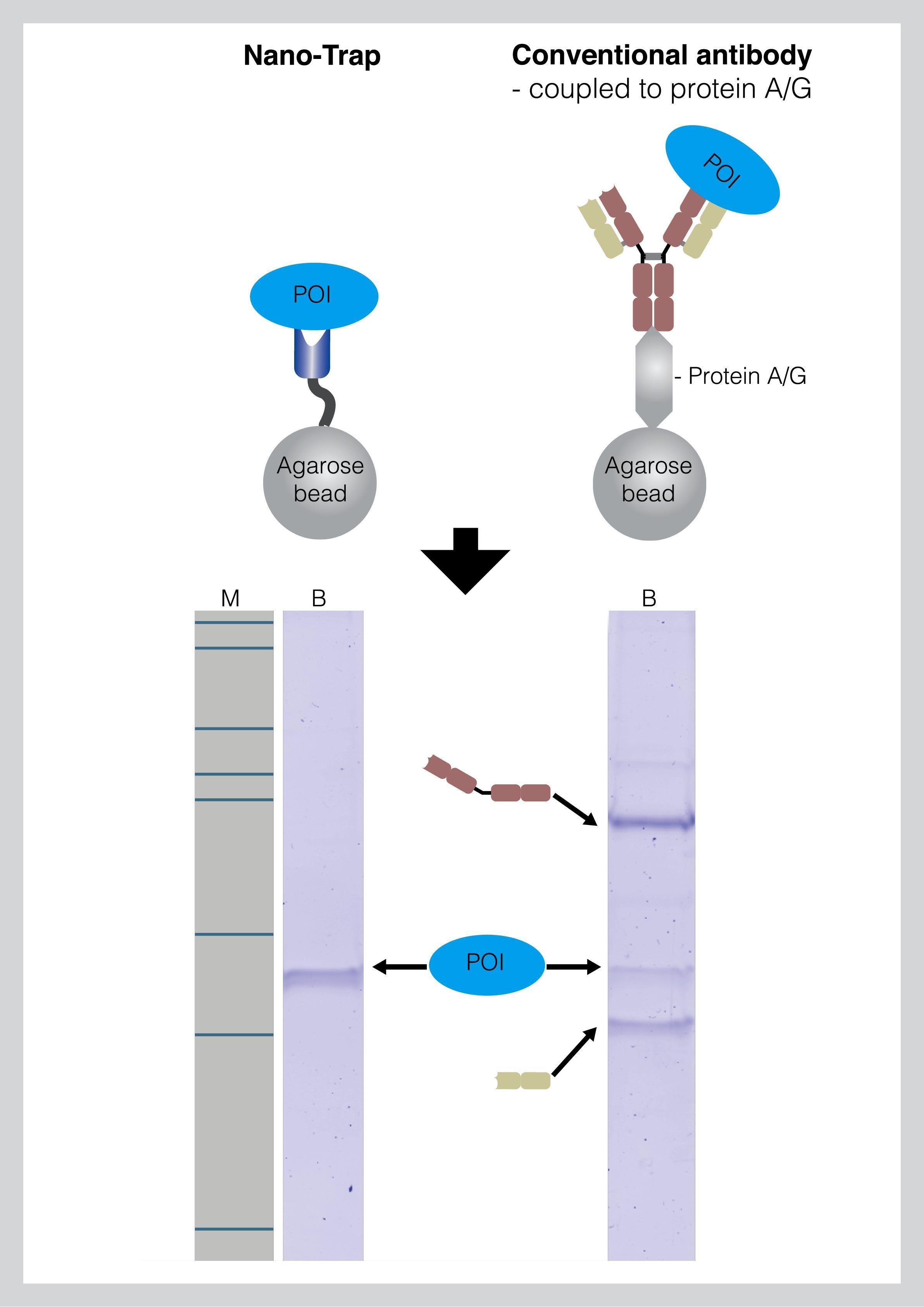 NanoTrap(左)と従来型であるProtein A/G結合IgG抗体(右)を用いた免疫沈降の概要。Nano-Trapでは、単一のバンドを得られ、従来型とは異なり軽鎖/重鎖由来のバンドは観察されません。