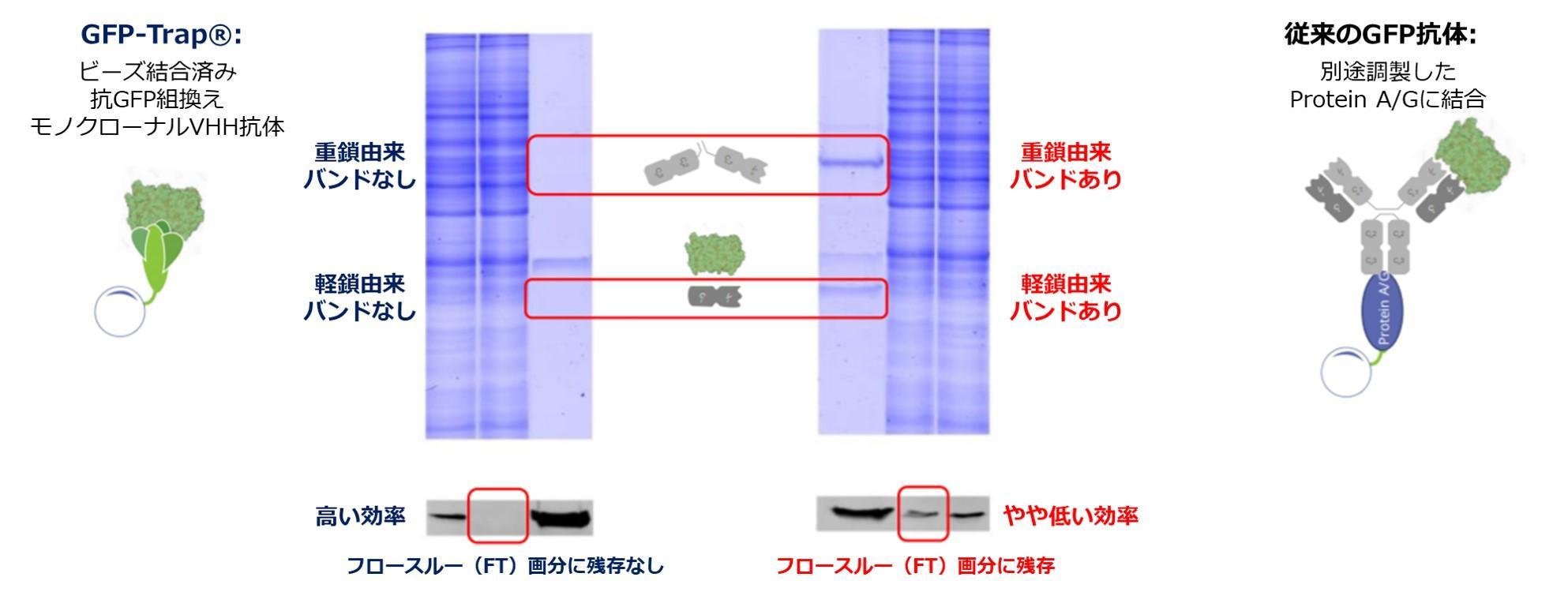 図4. Nano-Trapの使用例:GFP-Trap®を用いた高効率な免疫沈降(IP)と単一バンドの検出。