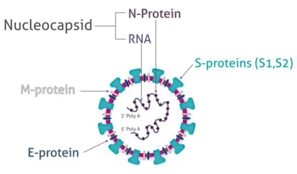 図1 SARS-COV-2(SARSコロナウイルス2)の構造