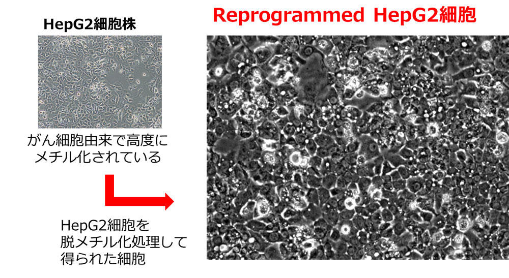 Reprogrammed HepG2 細胞の形態観察写真