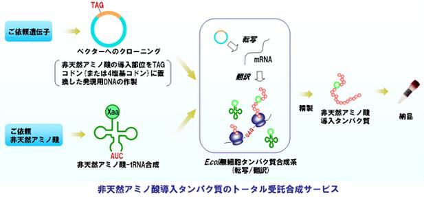 大腸菌発現系の非アミノ酸導入タンパク質のサービスの流れ