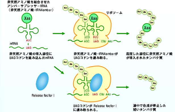 非天然アミノ酸-tRNAamberによるタンパク質への導入