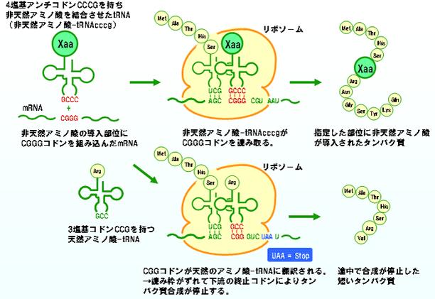 非天然アミノ酸-tRNAcccgによるタンパク質への導入