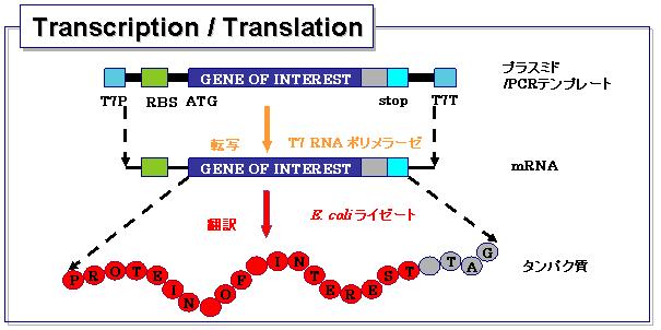 タンパク質無細胞発現系