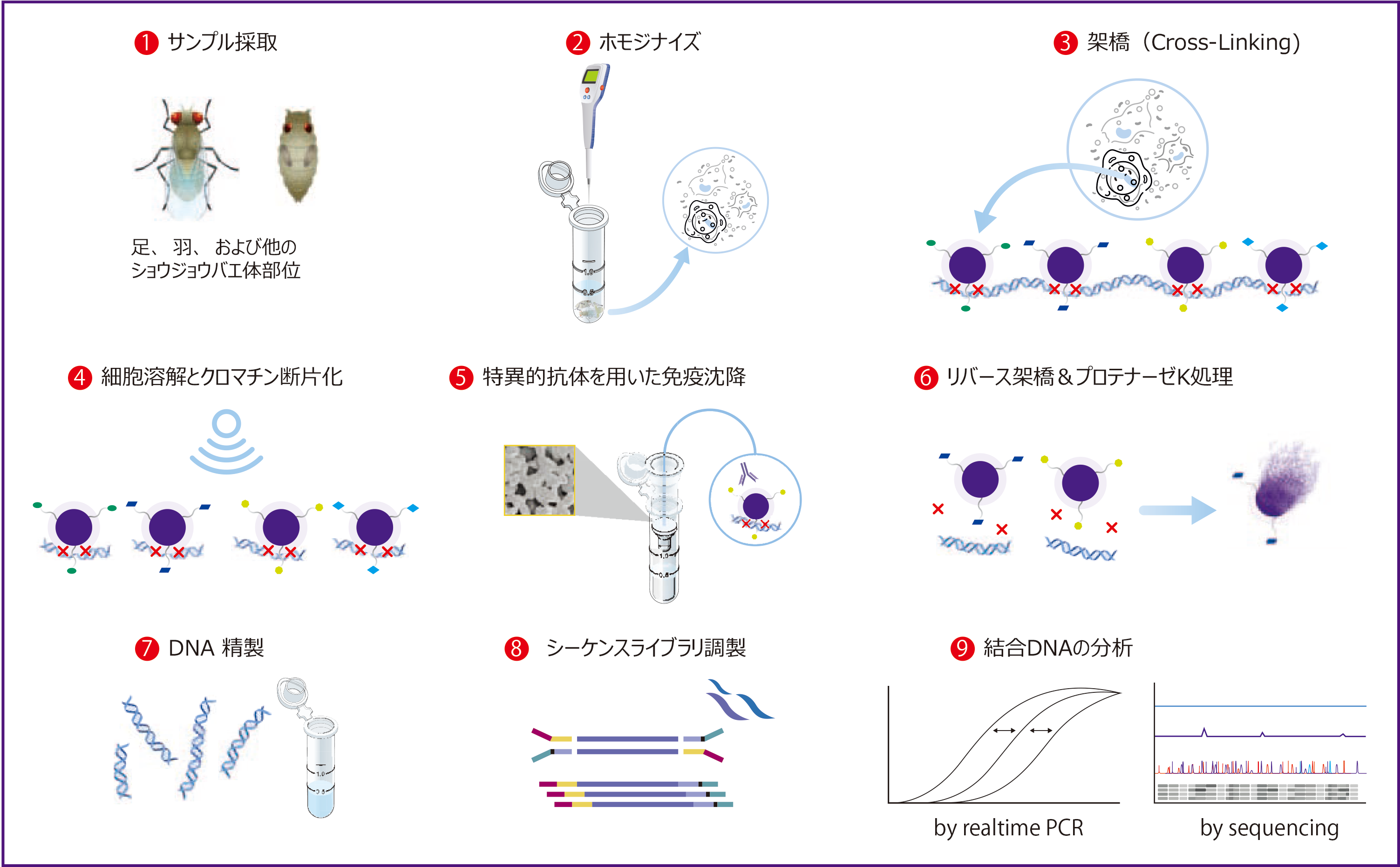 Chromatrap® <em>Drosophila</em> ChiP-seqプロセスの概略