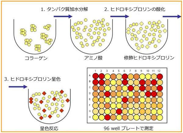 コラーゲン定量アッセイキットのアッセイ原理