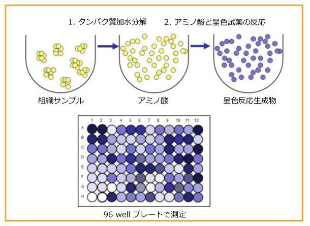 総タンパク質定量アッセイキットのアッセイ原理