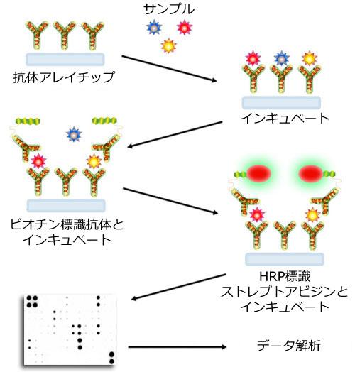 抗体アレイ「C-シリーズ」の原理およびワークフロー