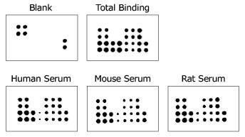 各動物種の血清サンプルにおけるアディポカイン発現量の解析
