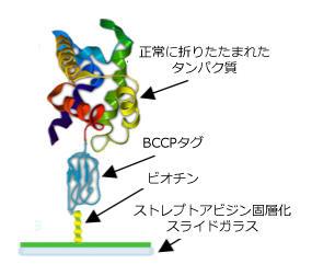 免疫系のプロテインアレイ