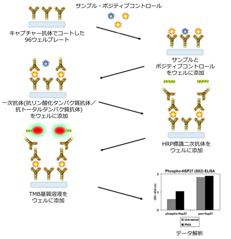 リン酸化タンパク質測定ELISAキット 原理