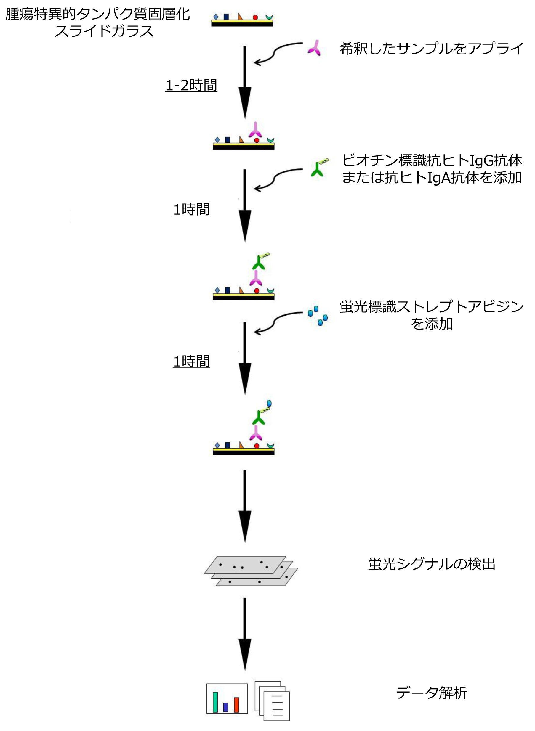 腫瘍関連自己抗体プロテインアレイの測定原理
