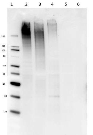 抗MUC4抗体によるウエスタンブロット