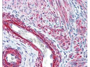 ミオシン リン酸化 S19/リン酸化 S20 抗体