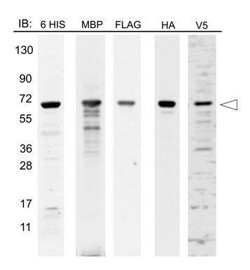 エピトープタグタンパク質マーカーライセートを用いたWB