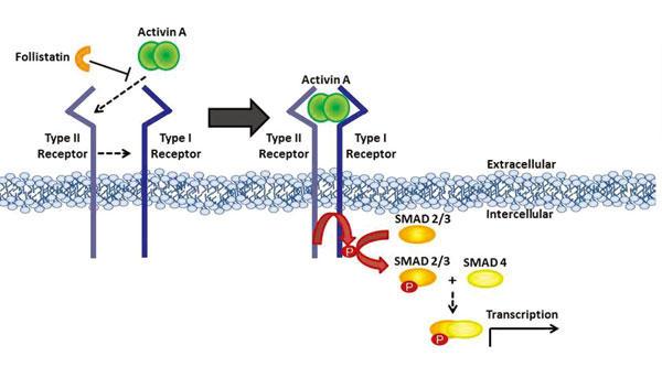 図1.アクチビンは、SMADタンパク質にシグナルを伝達するタイプ I 及びタイプIIのセリン/スレオニンキナーゼと相互作用する。この相互作用は、フォリスタチンやTGFベータ阻害剤で阻害される。