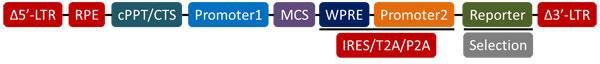 レンチウィルスベクターのLTR間の配列