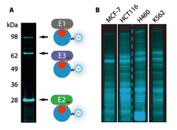 細胞抽出物の活性型タンパク質プロファイリング