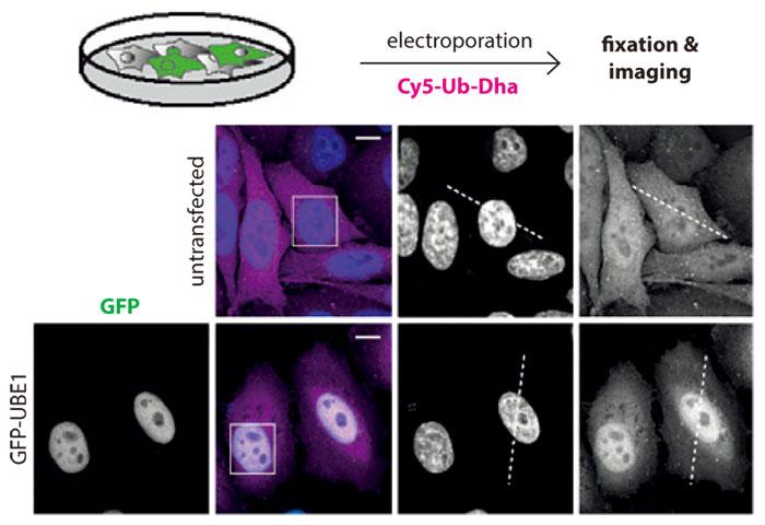 GFP-UBE1 を異所的に発現させた HeLa 細胞、未発現 HeLa 細胞における Cy5-Ub-Dha(マゼンダ)の分布