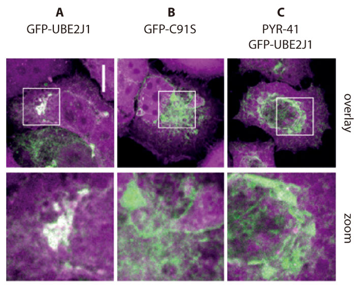Cy5-Ub-Dha(マゼンダ)を持つ HeLa 細胞中の E2 活性の視覚化