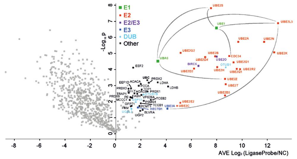HeLa 細胞中の Ub ライゲーションのプロテオーム広域活性プロファイリング