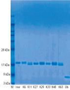 全8種類の天然結合型ジユビチキン(di-ubiquitin)鎖