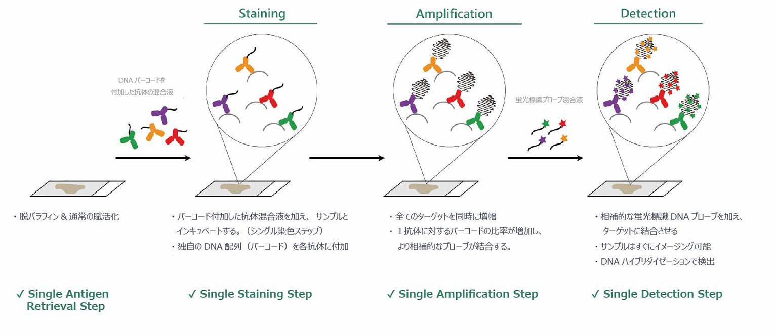 DNA-barcoded抗体を用いた高感度組織イメージング方法