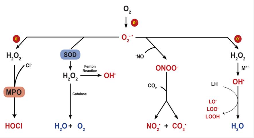 活性酸素発生の模式図