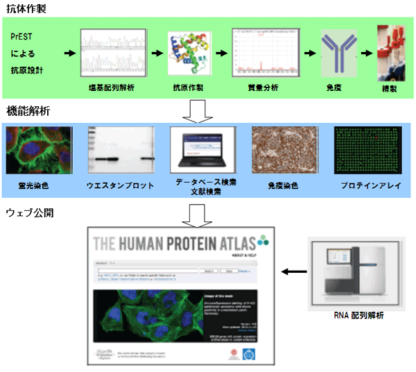Human Protein Atlas (HPA)プロジェクト