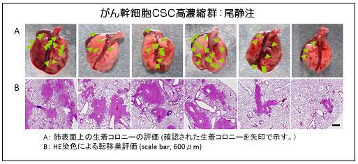 膵臓がん細胞株AsPC-1高濃縮がん幹細胞(CSC)尾静注による転移巣形成能