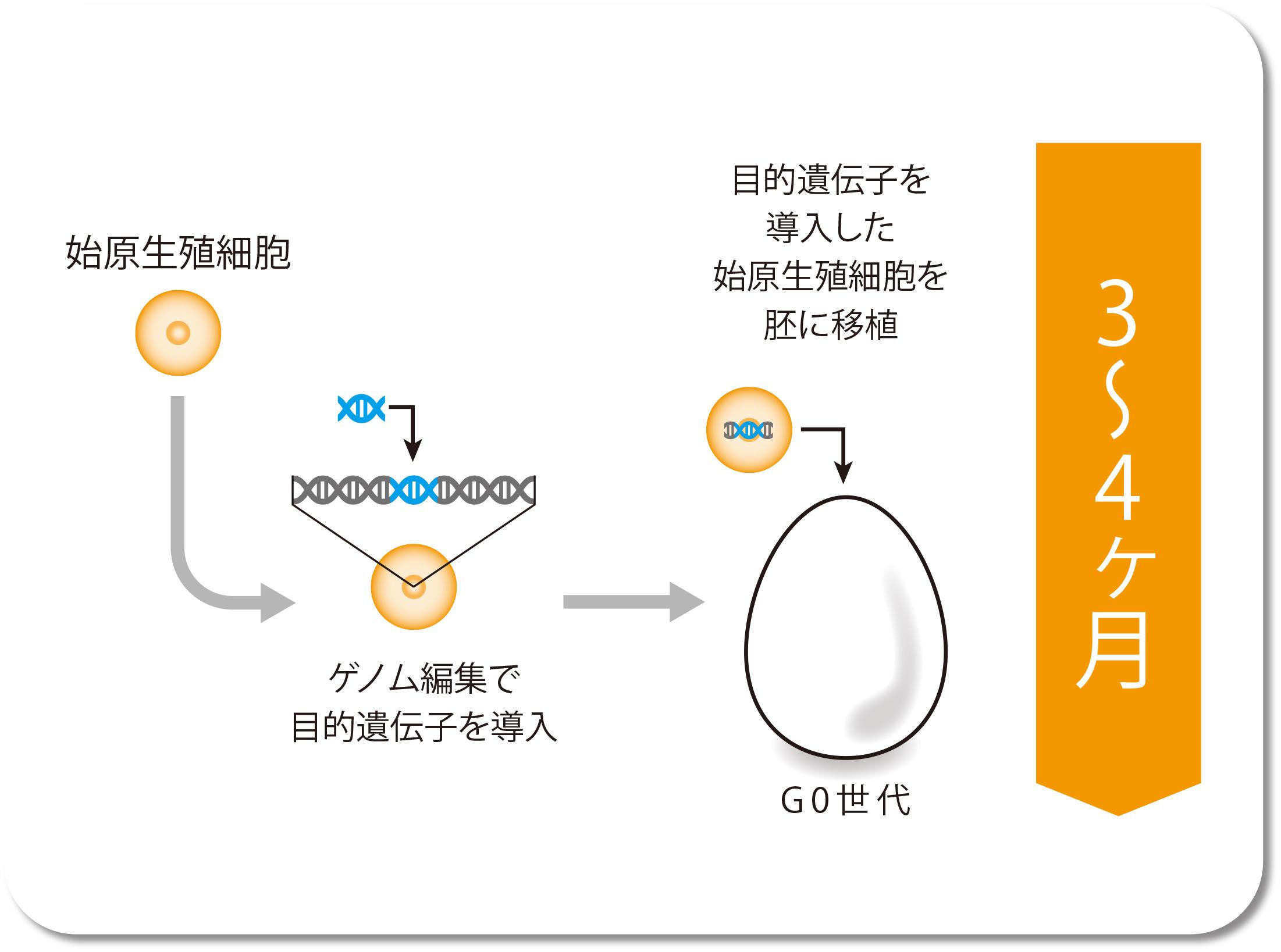 始原生殖細胞 → ゲノム編集で目的遺伝子を導入 → 目的遺伝子を導入した始原生殖細胞を胚に移植
