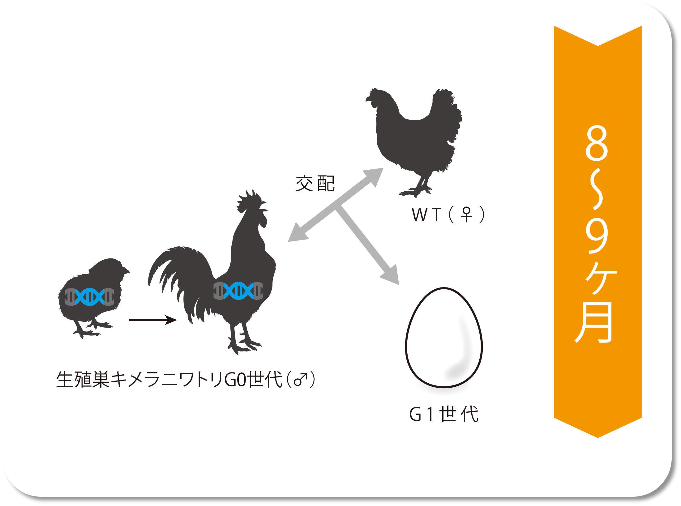 生殖巣キメラニワトリG0世代(♂)とWT(♀)を交配 → G1世代