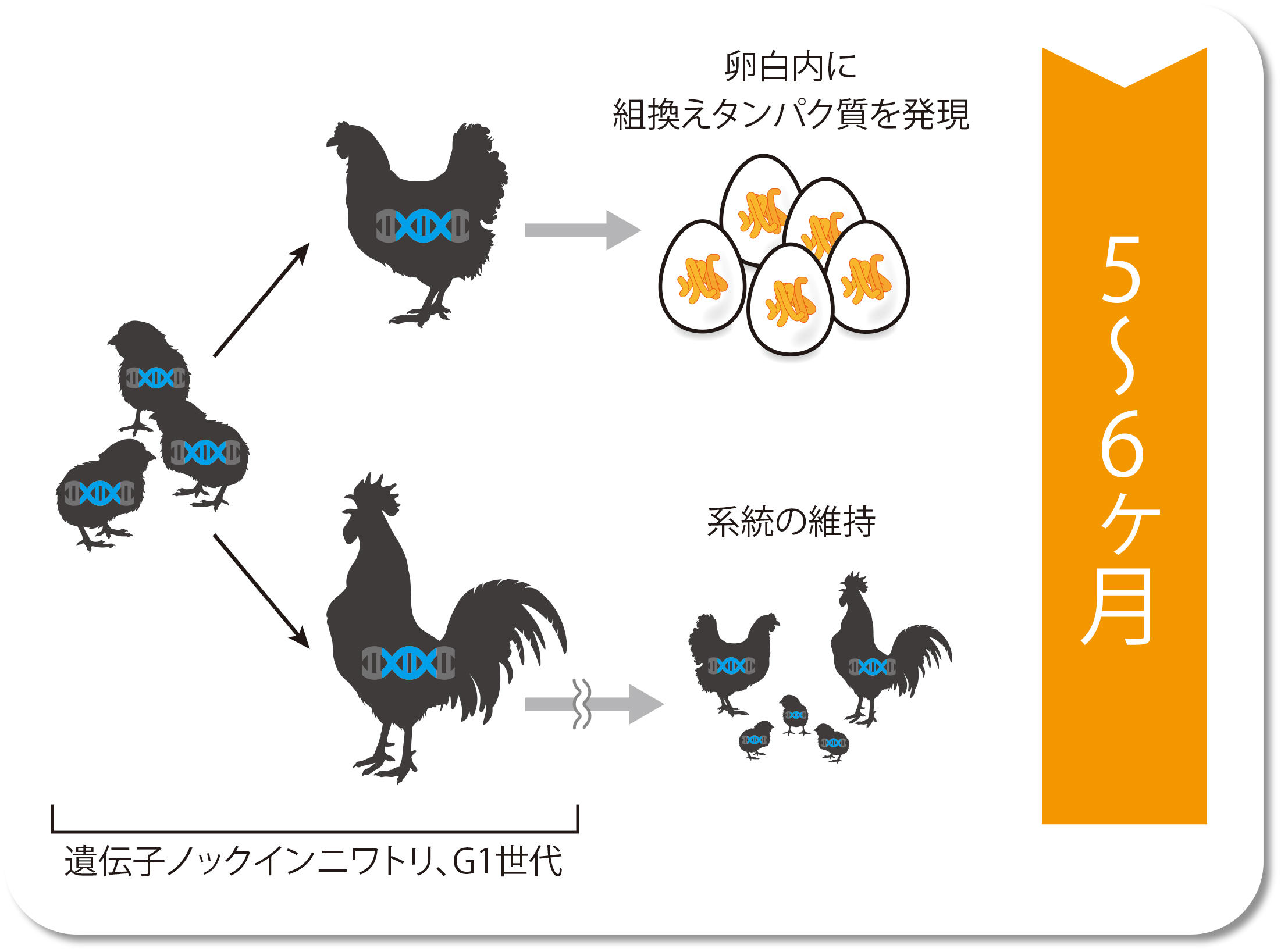 遺伝子ノックインニワトリG1世代 → 卵白内に組み換えタンパク質を発現