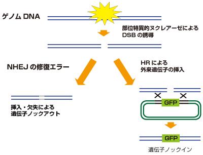 CRISPR/Casシステムを利用したゲノム編集