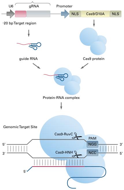 CRISPR/Cas9 システム作用機序概要