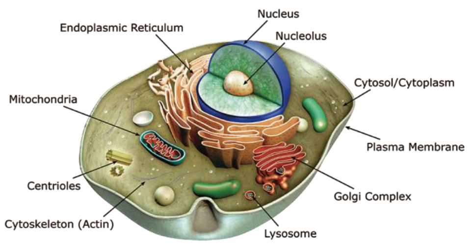 organelles_fluorescence_probe_abd_01.png