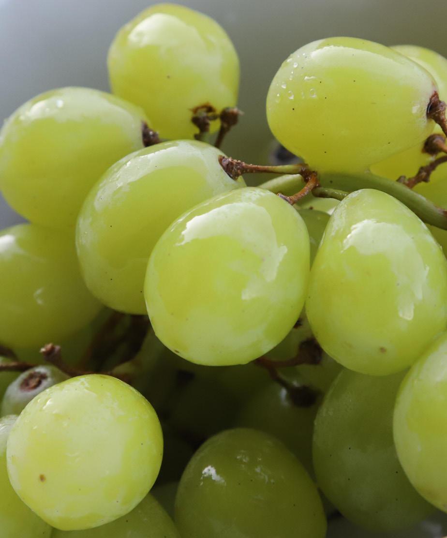 V. vinifera