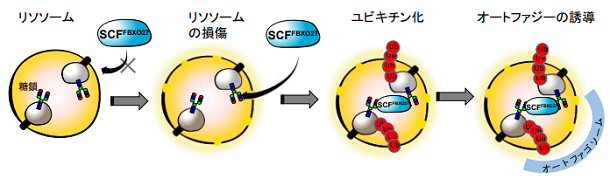 FBXO27による損傷リソソームの認識とオートファジーの誘導機構