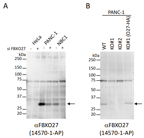 抗FBXO27抗体を用いたウエスタンブロッティングによる内在性タンパク質の検出